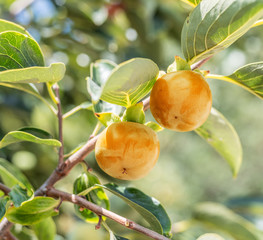 Persimmon fruits among green leaves on the tree.