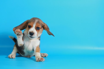 2 month pure breed beagle Puppy on light blue screen