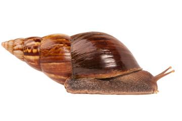 Snail (Amphidromus)