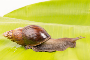 snail with  banana leaf isolated on white background