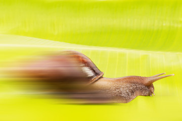 Fast snail speed concept snail with  banana leaf isolated on white background