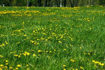Yellow dandelions on a green lawn, green field