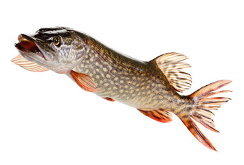 Pike fish on a white background