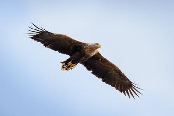 Seeadler (adult) im Flug