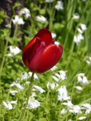 Aluminium Prints Tulip Tulp - tulps - Tulpen - in farm garden in Krummhörn Ostfriesland North Sea Nordsee ... :-)