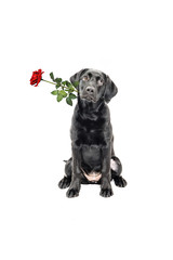 Labrador Retriever Welpe mit Rose
