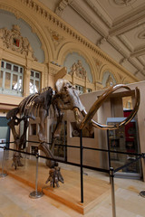 A complete mammoth skeleton is displayed before its auction by Aguttes auction house in Lyon