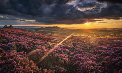 Scenic  Sunset Over British Upland in Blooming Heather Flowers