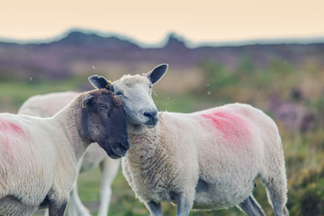 Two Sheep Head to Head Cuddling on Scenic Upland