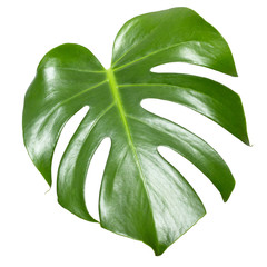 Monstera leaf isolated on white. Exotic tropical plant