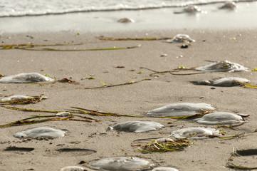 sahile vuran deniz anaları