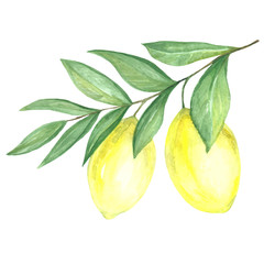 Fruit of yellow lemon in watercolor.