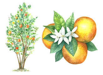 Fruit tree of orange in watercolor style. Citrus leaves and flowers.