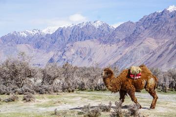 Camels safari in Nubra Valley, Ladakh, India
