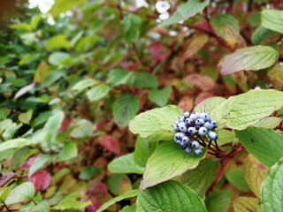 Куст с синими ягодками осенью