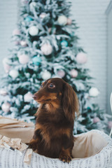 cute little dog with blurred christmas tree