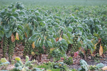 Brussels sprouts growing at plants on farm in Zevenhuizen , netherlands
