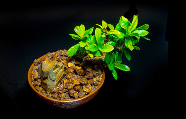 Small tree in the ceramic pot on black background