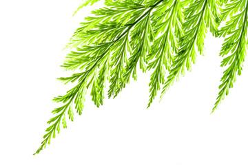 Wall Mural - Freshness Green leaf of Fern on white background