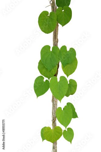 Heart shaped green leaf vine cowslip creeper climbing and twist heart shaped green leaf vine cowslip creeper climbing and twist around jungle liana vine mightylinksfo