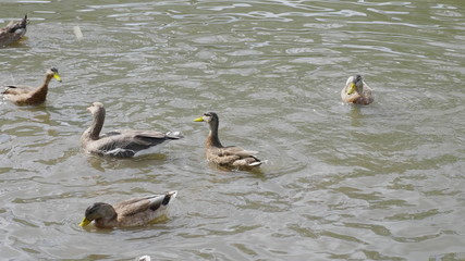 Ducks on walk floating in the pond water. UltraHD stock footage