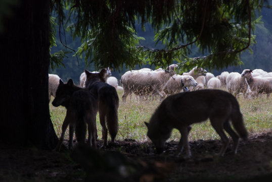 Wolf pack hunting sheep