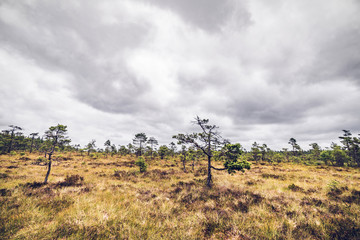 Wilderness landscape with small pine trees