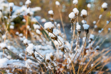 Close up fluffy plant covered with snow, suffused with morning light