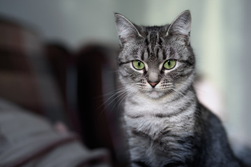 Beautiful American Shorthair cat with green eyes. Part7.
