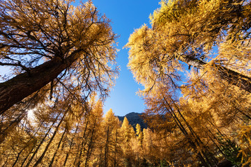 Golden Larches in the alps of canton grisons, Switzerland