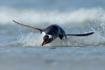 Gentoo penguin diving on the shores of the Falkland islands in the Atlantic ocean