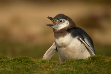 Young molting Magellanic penguin calling near a burrow in the Falkland islands
