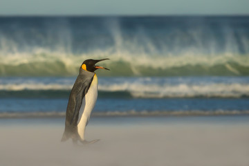 King penguin returning from the sea to the sandy coast during windy conditions and huge waves