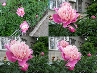 Set of four photos of pretty pastel pink peonies of 'Gay Pari' cultivar on a flower bed close-up at different angles. A perennial favorite  super-large double flowers and buds on tall green bushes