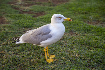 Gull in courtyard of the Pinecone