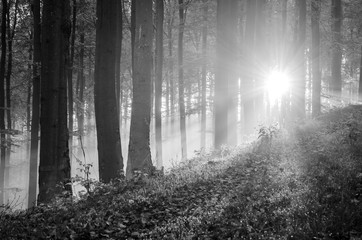 Sunrise in a beech forest in autumn, monochrome, Germany