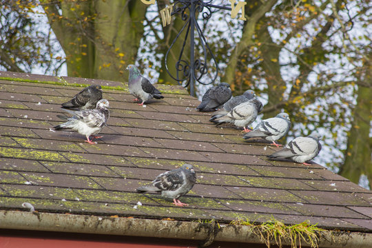 A small flock of wild pigeons on a rooftop in late autumn