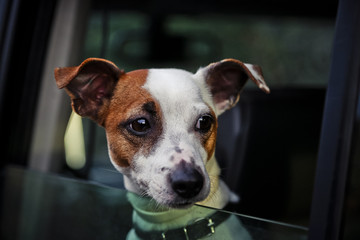 Close up petite dog looking in car window