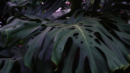 Fotomurales - Plants with big leaves grow in jungles, close-up photography.