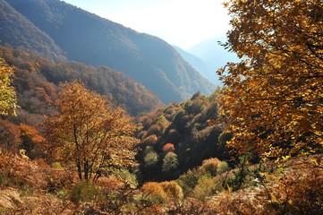 Herbstlich gefärbter Wald am Steilhang des Veddascatals östlich vom Lago Maggiore, Tessin, Italien