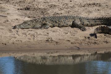 Nile Crocodryle