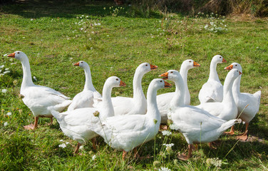 A group of white goose