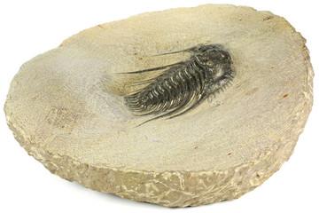 complete pyritised Leonaspis (Kettneraspis) sp. trilobite from Morocco