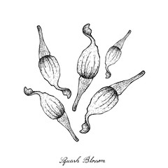 Hand Drawn of Squash Blossoms on White Background
