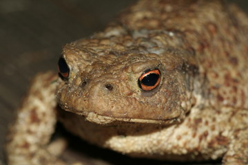the portrait of a toad