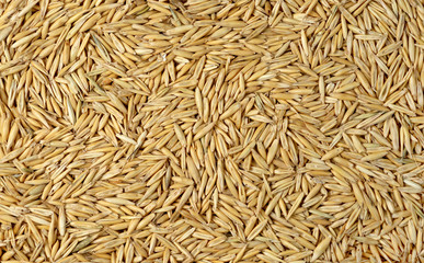 Texture of ripe oat grains