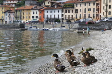 Enten am Ufer des Comer Sees in Domaso unit Gravedona