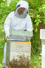 Beekeeper holding lid of hive