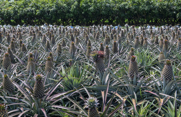 The landscape of pineapple farm in Taiwan