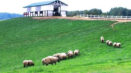 北国の可愛い羊